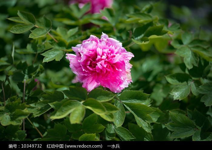 一朵牡丹花绽放图片