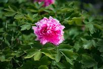一朵牡丹花绽放
