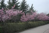 植物园的桃花