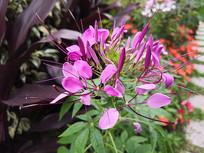 紫红色花瓣的醉蝶花