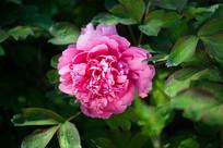 花开富贵牡丹花