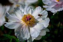 牡丹花与小蜜蜂