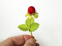 一株野草莓