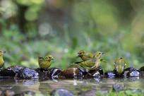 百鸟争鸣的藏黄雀