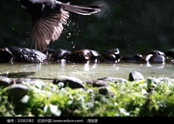 滴水欲飞的白喉扇尾鹟图片