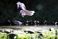 飞离水中的白喉扇尾鹟