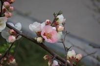 纷红色的海棠花