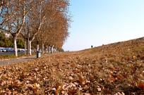 寒秋落枫叶