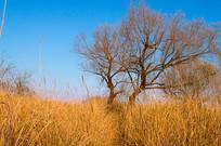 芦苇丛中的老树