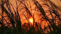 芦苇丛中的夕阳