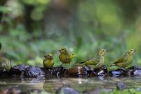 鸟语啁啾的藏黄雀