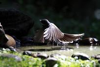 贴水于飞的白喉扇尾鹟
