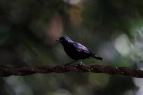 莺莺燕燕的白尾蓝地鸲