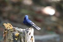 羽毛靓丽的白尾蓝地鸲