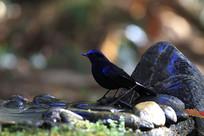 羽毛艳丽的白尾蓝地鸲