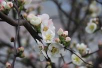 绽放的海棠花