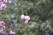 绽开的一束桃花