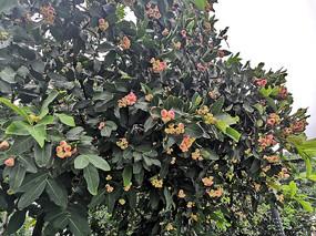 挂满枝头的洋蒲桃幼果