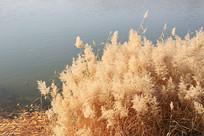 池塘边的芦苇丛