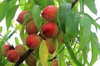 红色枝头桃子