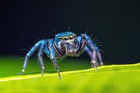 蓝色蜘蛛微距摄影