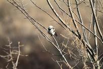 辛勤的黑领椋鸟