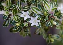 白马骨花朵和枝叶