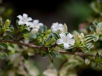 白马骨枝头上的白色花朵