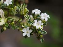 白色的白马骨花朵