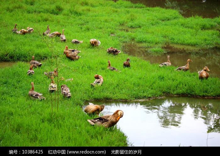 草地上的鸭群图片
