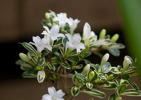 茜草科植物白马骨盛花期