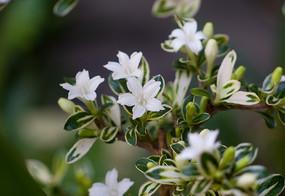 茜草科植物白马骨枝叶和白色花
