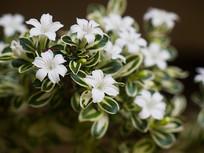 常绿小灌木白马骨的白色花朵