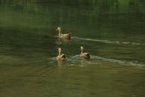 河里游泳的三只鸭子