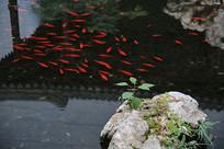 红鲤鱼室内鱼池
