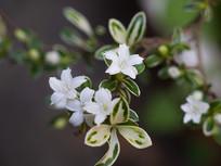 美丽的白马骨花朵