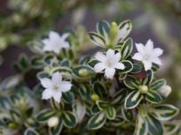 漂亮的白马骨花朵