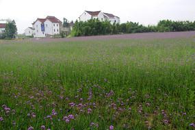 紫色花海家园