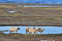 青海湖的羊