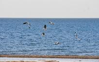 青海湖海鸥