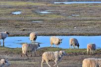 青海湖羊群