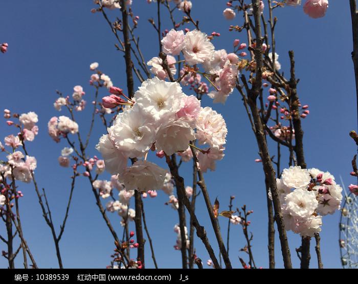 樱花烂漫图片