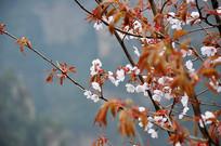 张家界樱花