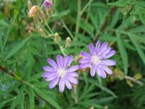 紫色小野花