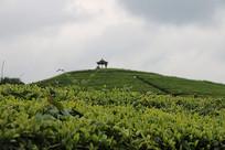 傍晚的茶山