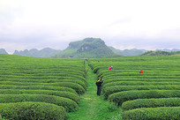 茶园和采茶工人