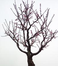 含苞待放的梅花
