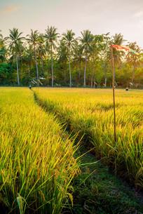 黄昏下稻田竖版
