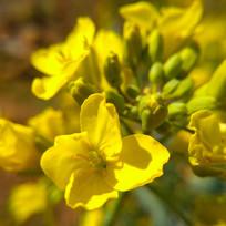 黄色油菜花微距图片