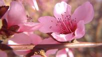 精致的粉色桃花